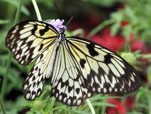 Butterfly macro a Stock Photos