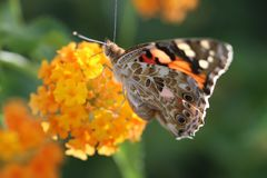 Butterfly, Macro, Close Royalty Free Stock Image