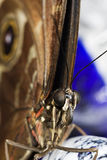 Butterfly Macro Close Up Royalty Free Stock Photography