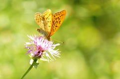 Butterfly. Macro detail of European butterfly sitting on a flower stock image