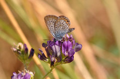 Butterfly. Macro detail of Large Blue Butterfly on a alfalfa flower royalty free stock photography