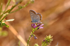 Butterfly. Macro detail of Large Blue Butterfly on a alfalfa flower stock images