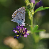 Butterfly. Macro detail of Large Blue Butterfly on a alfalfa flower stock image