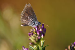 Butterfly. Macro detail of Large Blue Butterfly on a alfalfa flower stock photo