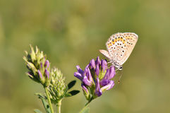 Butterfly. Macro detail of Large Blue Butterfly on a alfalfa flower royalty free stock images
