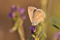 Butterfly. Macro detail of Large Blue Butterfly on a alfalfa flower royalty free stock image