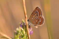 Butterfly. Macro detail of Large Blue Butterfly on a alfalfa flower stock photography