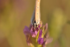 Butterfly. Macro detail of Large Blue Butterfly on a alfalfa flower royalty free stock photo