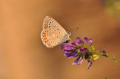 Butterfly. Macro detail of Large Blue Butterfly on a alfalfa flower stock photos