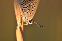 Butterfly. Macro detail of Large Blue Butterfly on a dried leaf royalty free stock image