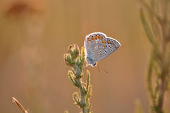 Butterfly. Macro detail of Large Blue Butterfly on a dried leaf royalty free stock images