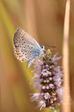 Butterfly. Macro detail of Large Blue Butterfly on a mint flower stock photo