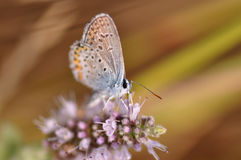 Butterfly. Macro detail of Large Blue Butterfly on a mint flower stock photography