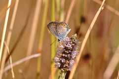 Butterfly. Macro detail of Large Blue Butterfly on a mint flower royalty free stock image