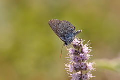 Butterfly. Macro detail of Large Blue Butterfly on a mint flower stock photos
