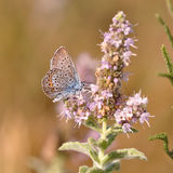 Butterfly. Macro detail of Large Blue Butterfly on a mint flower stock images