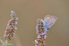 Butterfly. Macro detail of Large Blue Butterfly on a mint flower stock image