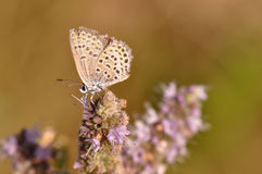 Butterfly. Macro detail of Large Blue Butterfly on a mint flower royalty free stock images