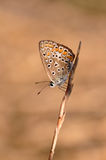 Butterfly. Macro detail of Large Blue Butterfly on a twig royalty free stock image