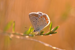Butterfly. Macro detail of Large Blue Butterfly on a twig stock photo