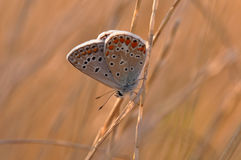 Butterfly. Macro detail of Large Blue Butterfly on a twig stock photos