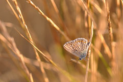Butterfly. Macro detail of Large Blue Butterfly on a twig stock images