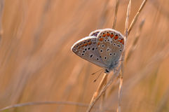 Butterfly. Macro detail of Large Blue Butterfly on a twig royalty free stock photography