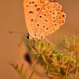 Butterfly. Macro detail of a small copper butterfly. Lycaena phlaeas stock photo