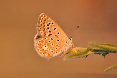 Butterfly. Macro detail of a small copper butterfly. Lycaena phlaeas royalty free stock images