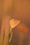 Butterfly. Macro detail of a small copper butterfly. Lycaena phlaeas royalty free stock photography