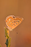 Butterfly. Macro detail of a small copper butterfly. Lycaena phlaeas stock image