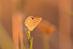 Butterfly. Macro detail of a small copper butterfly. Lycaena phlaeas stock images