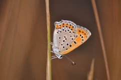 Butterfly. Macro detail of a small copper butterfly. Lycaena phlaeas royalty free stock image