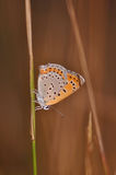 Butterfly. Macro detail of a small copper butterfly. Lycaena phlaeas stock photography