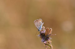 Butterfly. Macro detail of two Large Blue Butterfly on a mint flower royalty free stock images