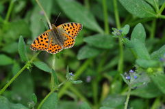 Butterfly. Macro photo of butterfly hovers in spring before summer Royalty Free Stock Photography