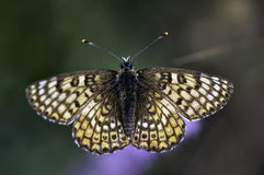 Butterfly. Macro photo of butterfly hovers in spring before summer Royalty Free Stock Image