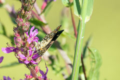 Butterfly macro. Macro view of an butterfly drunks nectar on purple flower. Large chequered skipper & x28;Heteropterus morpheus& x29 Stock Photography