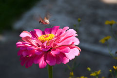 Butterfly Macroglossum stellatarum hovering over a flower Royalty Free Stock Images