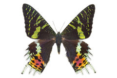 Butterfly Madagascan Sunset Moth Macro Isolated Stock Photo