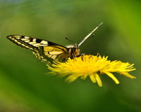 Butterfly Mahaon. Papilio machaon 3 Royalty Free Stock Image