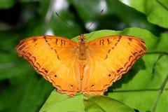 Butterfly Malay cruiser Vindula dejone family Nymphalidae. Butterflies Royalty Free Stock Photos
