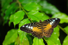 Butterfly from Malaysia and Borneo. Beautiful leaves. Clipper butterfly, Parthenos sylvia, sitting on the green leaves. Insect in. Nature royalty free stock photos