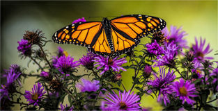 Butterfly. Male monarch feeding on a wild aster Royalty Free Stock Photos