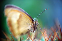 Butterfly (Maniola Jurtina). Is covered with drops of water and sitting on Cactus Royalty Free Stock Image