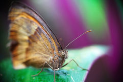Butterfly (Maniola Jurtina). Is sitting on the leaf Stock Image