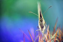 Butterfly (Maniola Jurtina). Sitting on Cactus royalty free stock images