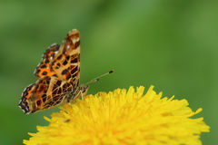 Butterfly - map (Araschnia levana) on dandelion flower. Closeup Royalty Free Stock Photos