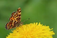 Butterfly - map (Araschnia levana) on dandelion flower Royalty Free Stock Photos