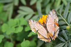 Butterfly - Mapwing (Cyrestis Thyodamas Indica) Royalty Free Stock Photography